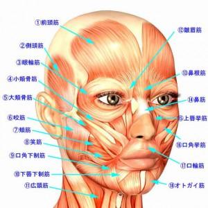 顔の筋肉1
