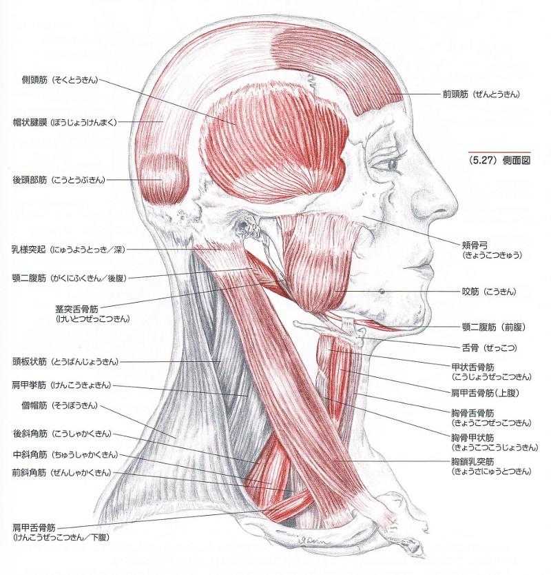 頭痛筋肉1